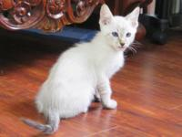 Savannah and Bengal mixed kittens available. They are