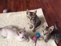 F5 Savannah and Bengal mixed kittens available. 1 snow