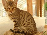 Beautiful F4 Savannah kittycats 14 weeks-- 1 male & & 1