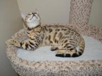 i have beautiful male savannah f4 kitten, he has his