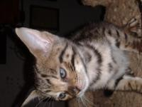 beautiful 9 week old Savannah jungle cat kittens ,first