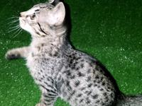 F5 Savannah kitten 10 weeks old. Only 1 left!! Text