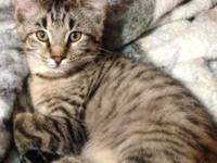 HP F4 Savannah Male Kitten available. I was going to
