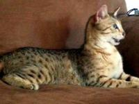We have beautiful F4 kittens, standard (silver with