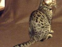Lovely Savannah kittens. Parents on website. Male and