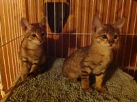F3 Savannah kittens now available. One male and one