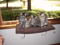 2 female and 2 male pure bred TICA liter registered