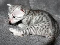WYLDTHINGZ F7 and F8 sbt- silver Savannah babies at