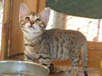 Beautiful F4 Savannah kittens (7 weeks) $1500 TICA reg.