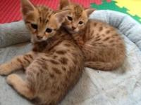 Pure Bred Savannah Kittens raised in home environment