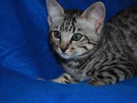 Fantastic male Savannah kitten available. TICA
