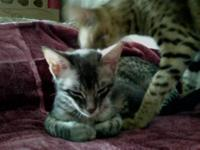 savannah kittens for sale in Washington Classifieds & Buy and Sell
