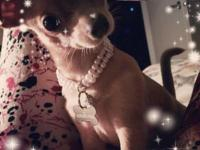 *Savannah the Chihuahua* The most beautiful, sweetest