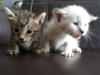 F5 Savannah and Bengal mixed kittens available. They