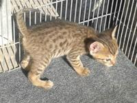2 male F6A Savannah Kittens ready for new homes in late