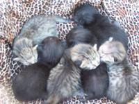 Only 1 Savannahkin kitten left. Only 9 in existence.