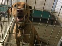 Sayonara appears to be a female lab/shepherd mix found