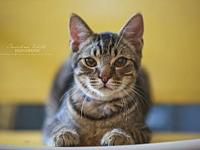 Scamp's story Scamp is a beautiful classic tabby. He