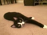 Scamp  Terrific Tuxedo Cat For Adoption in Nashville,