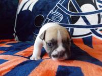 Scarface is a fawn male English Bulldog puppy owned by