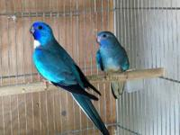 Scarlet chested (splendid) parakeets available. Most