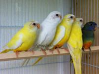 Scarlet chested (splendid) available. Most birds are