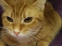 Scarlet is a beautiful year old, domestic short hair.