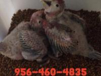 I got six baby scarlet macaws available 1,400 each with