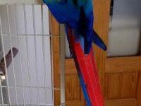 I have beautiful Scarlet Macaw Female, very friendly, 1