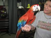Male Scarlet Hybrid Macaw hatched 3-14-2012. (3/4