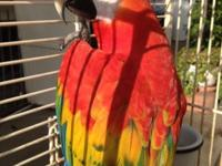 young scarlet macaw female talks alot has all her