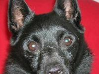Schipperke - Buster Leroy - Small - Adult - Male - Dog