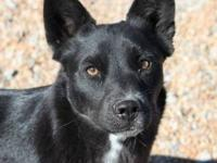 Schipperke - Little Bear - Medium - Young - Female -