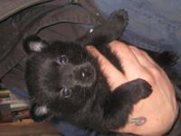 The schipperke is a higher energy breed and requires