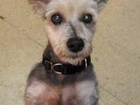Schnauzer - Angie - Small - Adult - Female - Dog This
