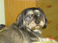 Schnauzer - Angus - Small - Adult - Male - Dog Angus is