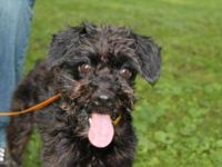 Schnauzer - Beamer - Small - Adult - Female - Dog