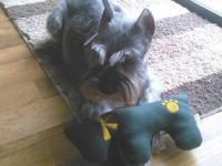 Schnauzer - Bella - Small - Senior - Female - Dog Hi!