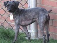 Schnauzer - Benjamin - Small - Adult - Male - Dog All
