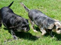 Schnauzer - Benny - Medium - Young - Male - Dog Ricky &