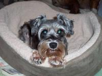 Schnauzer - Bibi - Small - Adult - Female - Dog Aug 26,