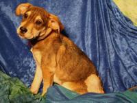 Schnauzer - Brinkley - Medium - Baby - Male - Dog