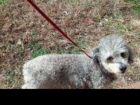 Schnauzer - Brooks - Small - Adult - Male - Dog Brooks