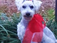Schnauzer - Bruce Adopted! - Medium - Adult - Male -