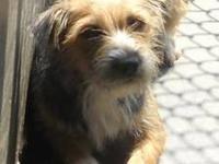 Schnauzer - Buzz - Medium - Adult - Female - Dog