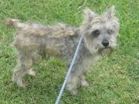 Schnauzer - Charlie - Medium - Adult - Male - Dog Come
