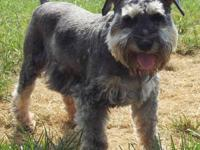 Schnauzer - Chloe *im Part Of A Bonded Pair* - Small -
