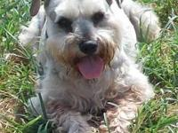 Schnauzer - Cooper *im Part Of A Bonded Pair* - Small -