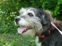 Schnauzer - Elliott - Medium - Adult - Male - Dog