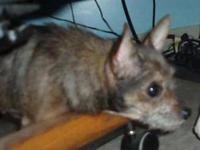 Schnauzer - Gigi - Small - Adult - Female - Dog To